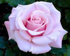 . Amazing Flowers, Beautiful Roses, Vintage Flowers, Beautiful Flowers, Gif Kunst, Foto Rose, Rose Reference, Peonies And Hydrangeas, Purple Roses