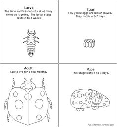 Google Image Result for http://www.enchantedlearning.com/subjects/insects/ladybug/sequencing/seqcards.GIF