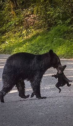 black Bear and cub ♦ Great Smokey Mountain National Park ♦ USA America #by dale fehr #animal cute