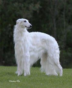Beautiful Dog Breeds, Beautiful Dogs, Animals Beautiful, Hound Breeds, Hound Dog, Borzoi Dog, Whippets, Magyar Agar, Russian Wolfhound