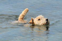 Swimming Lakeland Terrier