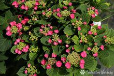 'Cherry Explosion' Lacecap Hydrangea Hydrangea Varieties, Hydrangea Macrophylla, Pink Plant, Types Of Plants, Blue Tones, Hydrangeas, Floral Wreath, Cherry, Hydrangea