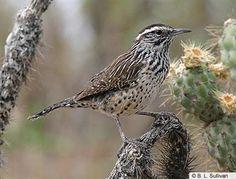 Cactus Wren, 3/7/13