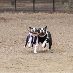 Look at these two boston terrier clowns!