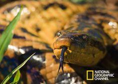 As espécies mais extraordinárias da América do Sul. Brasil Secreto, Pantanal.  #NatGeo Confira conteúdo exclusivo no www.foxplay.com