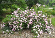 Full size picture of Hybrid Musk Rose 'Lavender Lassie' (Rosa); black walnut tolerant