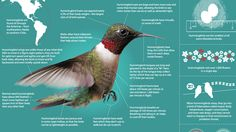Known for the humming sound created by their fast-beating wings, hummingbirds make up the family Trochilidae and are among the world's smallest birds. These flower pollinators can be found throughout much of the Western Hemisphere and have long beaks and tongues perfectly evolved for drinking nectar. Learn about this amazing and diverse family of birds. …