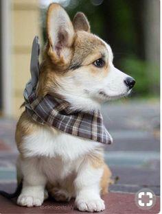 The Pembroke Welsh Corgi Puppy He is just so cute in his lit.- The Pembroke Welsh Corgi Puppy He is just so cute in his little bandana! The Pembroke Welsh Corgi Puppy He is just so cute in his little bandana! Welsh Corgi Puppies, Pembroke Welsh Corgi, Cute Dogs And Puppies, Korgi Puppies, Cute Dogs And Cats, Cute Pets, Corgi Husky Mix, Mini Corgi, Pet Dogs