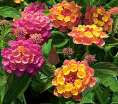 "Lantana Landmark™ Rose Sunrise  |  ANNUAL    Full Sun   Jun-Sep   12-16""Spacing: 18-24"" | I planted tiny, rescued Lantanas very similar to this one (Carnival?) last year and the hummingbird visited them."