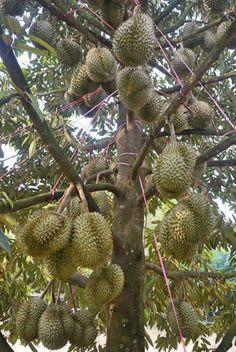 Budidayanya Fruit Tree Garden, Fruit Plants, Fruit Trees, Tropical Fruits, Tropical Garden, Durian Tree, Fruit World, Fruit Bearing Trees, Indoor Water Garden