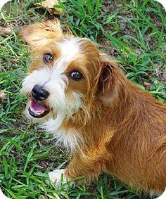 Locust Fork, AL - Norwich Terrier Mix. Meet Flipper B Tidwell, a dog for adoption. http://www.adoptapet.com/pet/13726443-locust-fork-alabama-norwich-terrier-mix