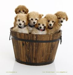 """a bucket of poodles Hope you're doing well.From your friends at phoenix dog in home dog training""""k9katelynn"""" see more about Scottsdale dog training at k9katelynn.com! Pinterest with over 20,800 followers! Google plus with over 180,000 views! You tube with over 500 videos and 60,000 views!! LinkedIn over 9,300 associates! Proudly Serving the valley for 11 plus years! Can now check us out on instantgram! K9katelynn"""