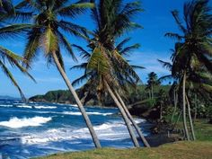 Tropical Beach with Lots of Coconut Tree