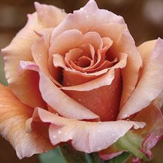"""Julia's Rose:registered:, Unusual coloring of cream, caramel and peach.. Mild fragrance. 20 to 22 petals. Average diameter 4"""". Double (17-25 petals) bloom form. Continual Blooming"""
