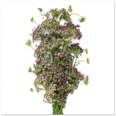 wilted queen annes lace Photobotanicus: A Photographic project by Barry Rosenthal in flowers 2  with Structure Project plants photography de...