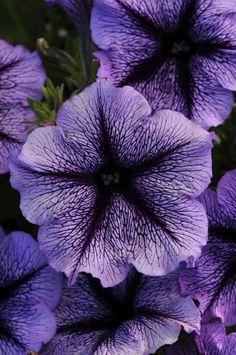 Petunia 'Suncatcher Blue Blast' new in 2015 - About Garden and Flowers Amazing Flowers, Pretty Flowers, Purple Flowers, Purple Petunias, Décor Violet, Comment Planter, Suncatcher, Gothic Garden, Container Plants