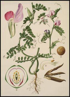Haslinger Botanische Wandtafeln