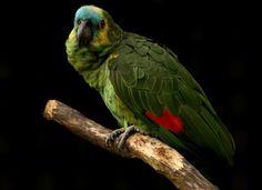 Papagaio verdadeiro by Ricardo Venerando