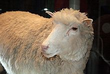 Dolly (5 July 1996 – 14 February 2003) was a female domestic sheep, and the first mammal to be cloned from an adult somatic cell, using the process of nuclear transfer.[2][3] She was cloned by Ian Wilmut, Keith Campbell and colleagues at the Roslin Institute, part of the University of Edinburgh, and the biotechnology company PPL Therapeutics near Edinburgh in Scotland, the United Kingdom. The funding for Dolly's cloning was provided by PPL Therapeutics and the Ministry of Agriculture.[4] She…