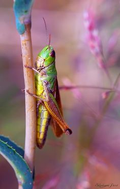 """""""Of these you may eat any kind of locust, katydid, cricket or grasshopper."""" Leviticus 11:22. This makes perfect sense because if you have enough locusts to feed people with chances are good that that is ALL that you have to feed people with! If they eat your food, it just makes sense to eat them!"""