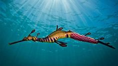 Amateur wildlife photographer,   Richard Wylie, has won an international oceans photo contest with this photograph of a weedy seadragon at Flinders Pier.