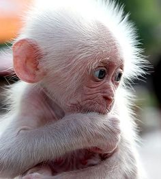 Snowflake is an albino gorilla. He is the only known albino gorilla so far, and was the most popular resident of the Barcelona Zoo in Spain. Cute Baby Animals, Animals And Pets, Funny Animals, Monkey Pictures, Animal Pictures, Primates, Photos Singe, Albino Gorilla, Cute Monkey