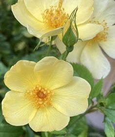 """Katie on Twitter: """"Tottering by gently #sundayvibes #yellow #roses… """""""