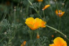 I planted yellow California poppies this year and love how full they got so quickly