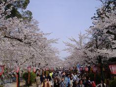 best cherry blossom festival