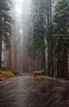 Visit for more incredible travel & nature photos! A quiet and peaceful scene as mist coats the forest and a young doe walking right through Sequoia National Park. Photo by: Explore.