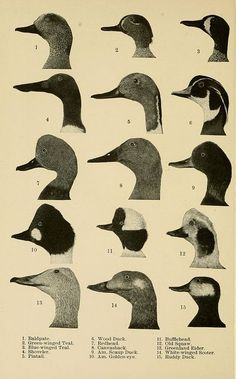 Handbook of birds of eastern North America : with keys to the species, and descriptions of their plumages, nests and eggs, their distribution and migrations . / by Frank M. New York: D. Duck Illustration, Science Illustration, Antique Illustration, Botanical Illustration, Illustrations, Zoo 2, Gato Animal, Sibylla Merian, Decoy Carving