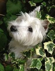 """* * """" Westies in ivy makes fer a good picture ! """""""