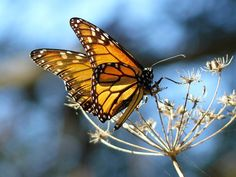 File:Monarch Butterfly resting on fennel, at the Pismo Butterfly Grove, California.jpg