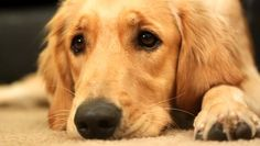 close up shot of a tired and sleepy golden retriever trying to doze off HD -