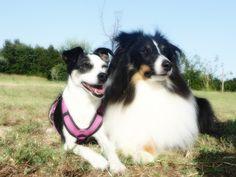 Terrier-Mix Lupita & Sheltie Pitou