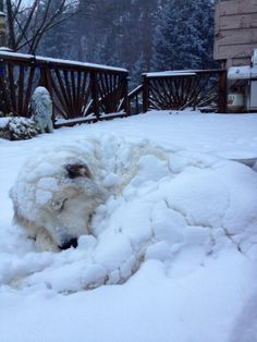 Our beloved Ollie~ he LOVED his blankets of snow! Pyrenees Puppies, Great Pyrenees Dog, Dogs And Puppies, Doggies, Huge Dogs, Giant Dogs, Animals And Pets, Cute Animals, Maremma Sheepdog