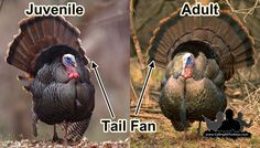 Can you identify whether this gobbler is a juvenile or an adult? Find out and the end of this article.A gobbler answers your calls and sounds as if he is ( strutting your tail feathers Quail Hunting, Deer Hunting Tips, Archery Hunting, Bow Hunting, Turkey Hunting Gear, Women Hunting, Hunting Stuff, Duck Mount, Hunting Videos