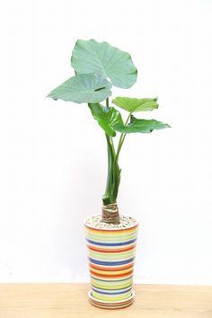 クワズイモ| 観葉植物の通信販売 | APEGO【アペーゴ】大きな葉が人気のクワズイモ。性質はとても健常で育てやすい観葉植物です。葉が大きいので存在感があり、お部屋のメイングリーンになる観葉植物です。 長い時間けて成長し、葉を伸ばしていくので成長が楽しみな植物です。  ■クワズイモ(シマクワズイモ)は別名「出世芋」とも呼ばれています。とにかく新芽がたくさん出る植物です。その樹勢の強さから縁起が良いとされ、このような別名が生まれました。そのボリュームのある樹形から、開店、開業、新築などの各種お祝いに大人気の観葉植物です。お祝いの観葉植物を迷われている方には是非おすすめです!!