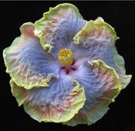 hybrid hibiscus from hawaii (alliteration unintended) Unusual Flowers, All Flowers, Amazing Flowers, Beautiful Flowers, Beautiful Things, Tropical Plants, Tropical Flowers, Colorful Flowers, Hibiscus Flowers