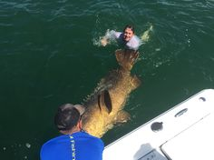 Ross jumping in for a swim with his huge #goliathgrouper