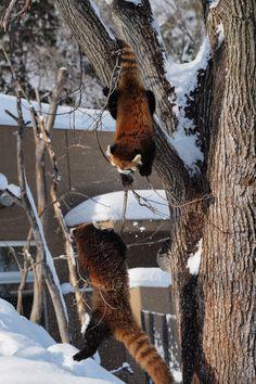 円山動物園 キンとホクト  Red pandas レッサーパンダ 小熊猫