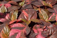 """Acalypha Copperhead---Hot, Hot, Hot! A tropical explosion of color in the garden.  Loves hot sun. Great in pots or massed in the ground.  Mix with warm and cool colors for a great contrast. Plant details -- Height: Up to  36""""  Spread: Up to  24"""""""