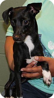 Prattville, AL - Rat Terrier/Chihuahua Mix. Meet Sasha 24973, a dog for adoption. http://www.adoptapet.com/pet/16192315-prattville-alabama-rat-terrier-mix
