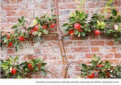 Sposób na drzewka owocowe na balkonie i w małym ogródku.