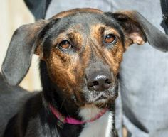 Hannah Banana is a 2 1/2 year old, 42lb female Lab-Shepherd mix. She is curious and good natured and is looking for the perfect family to adopt her.