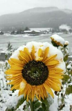 A Beautiful Sunflower in the snow!  :)