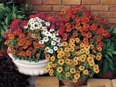 Profusion 5 Color Mix Zinnia - Annual flower