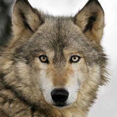 Wolf | San Diego Zoo Animals