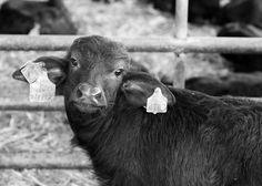 La Bufala campana