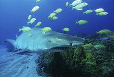 Les fœtus de requins-tigres se battent et, quelquefois, s'entredévorent dans l'utérus. C'est le vaincœur qui naît. | 17 faits qui risquent de vous surprendre